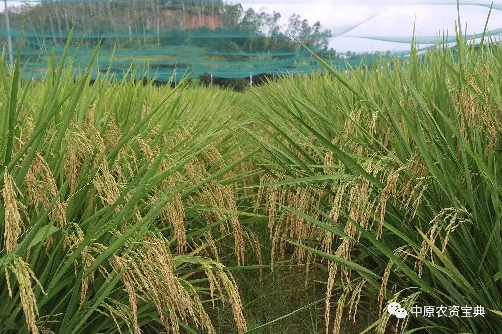 请勿购买!313个国审水稻品种已停止推广!
