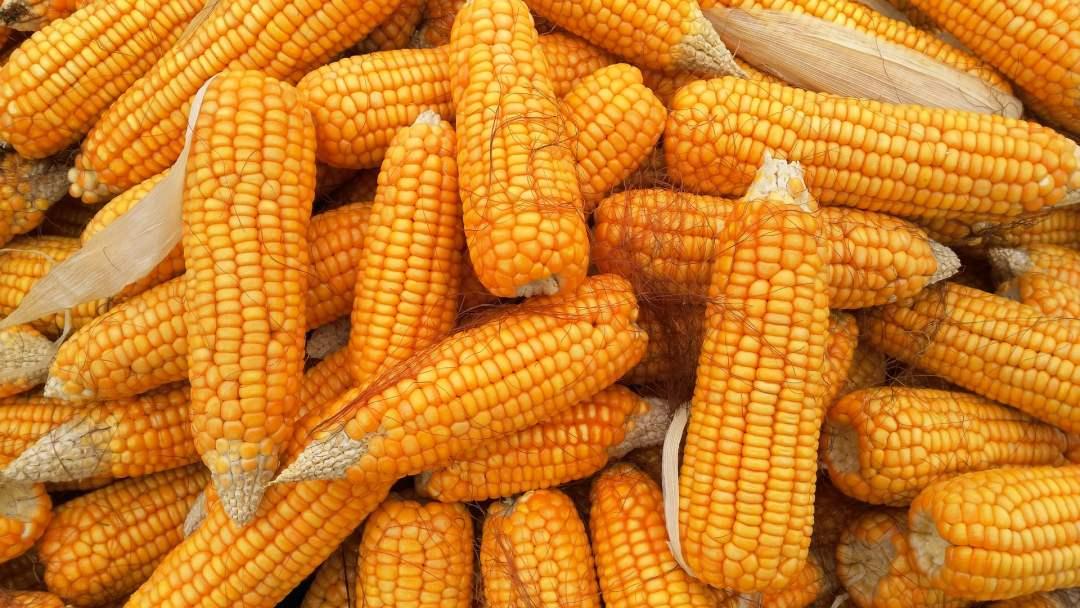 【全析】山东玉米自身难保,东北玉米进退两难!此番国储粮收购能否改变僵局?