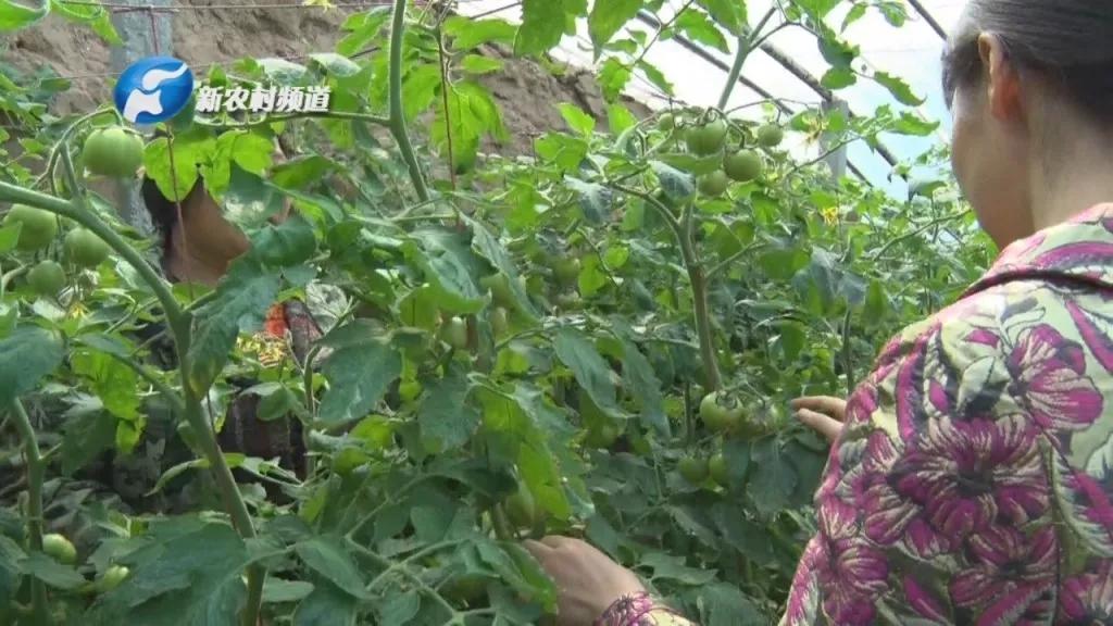 【病害】防治配方+用药方案,番茄春季易发病害要早防!
