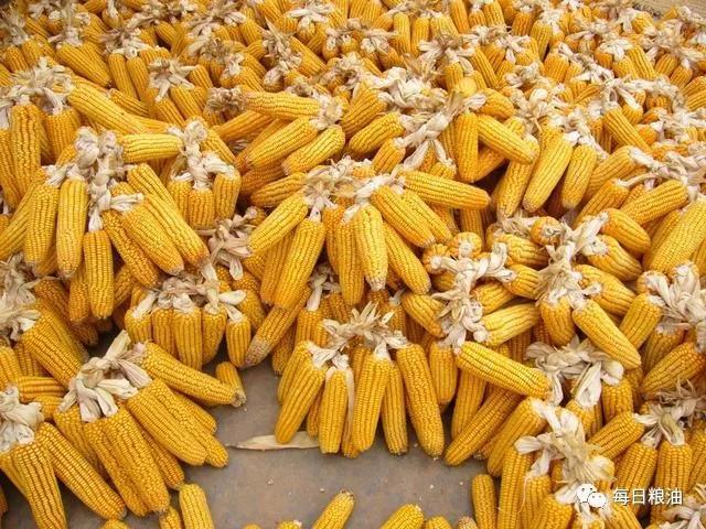 五月临储开拍投放800万吨 中储粮玉米专场竞价交易成交火爆