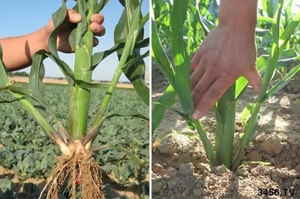玉米苗后除草风险大,想要除草不伤苗