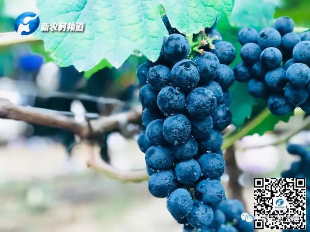 选择理念同行者,制定行业新标准——探究一粒美味葡萄的出处