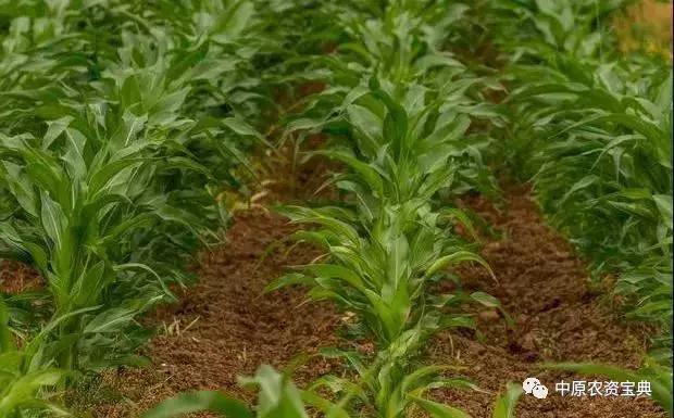 「注意」玉米田除草,记住这几个配方就够了