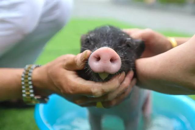 每头猪饲养成本降低80元!