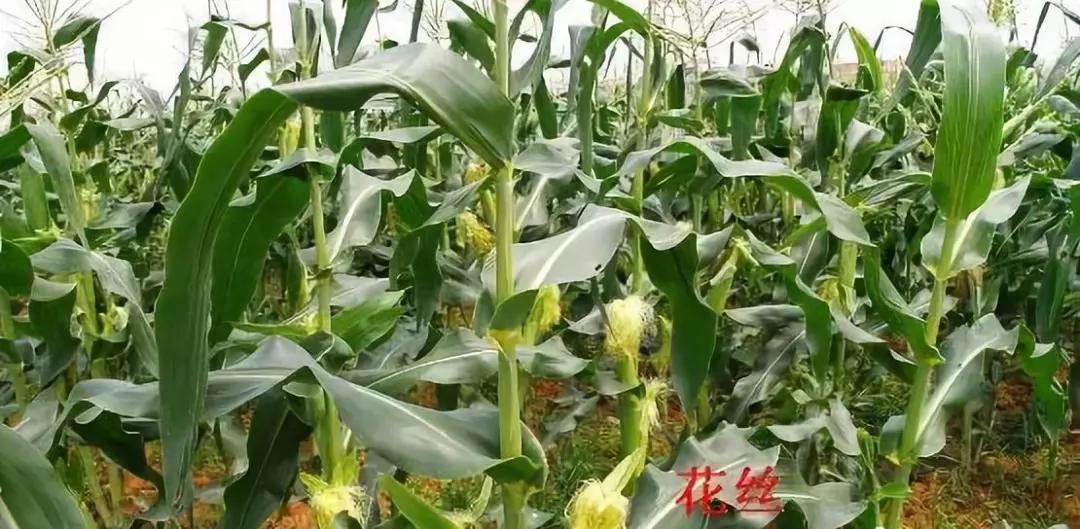 高温、干旱、多雨、花期不调,全是玉米减产凶手!教你怎么应对