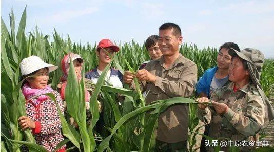 多地玉米茎叶干枯脱水,此时不管,严重可致绝收!(含视频)