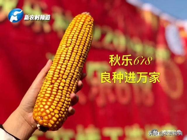 【品种】今年玉米种什么?就种秋乐618!
