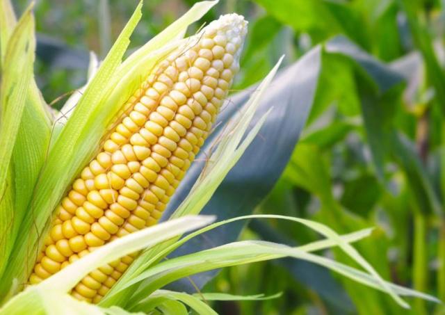 干货满满!玉米生长各阶段管理要点梳理,手把手教你种植!