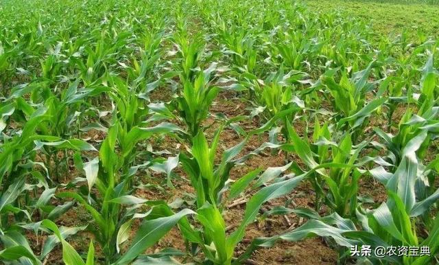 玉米控旺能增产30%?不注意这几点反而会减产