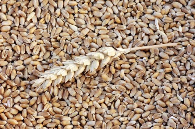 竞技宝IOS玉米价格稳中上涨,4个原因!后期价格走向如何?