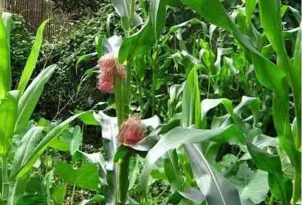 提醒:7月高温天气来袭,玉米高温热害需警惕!怎么防?只需3招