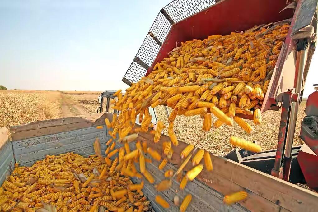 2580元/吨!玉米价格再创新高!2个风险需警惕!